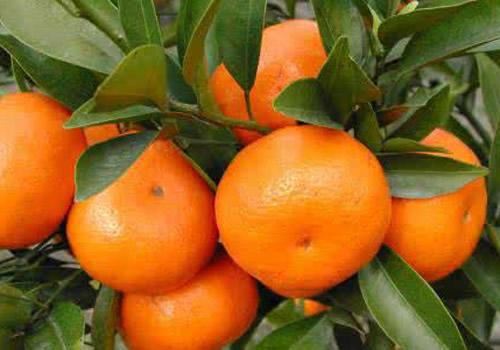 秭归桃叶橙