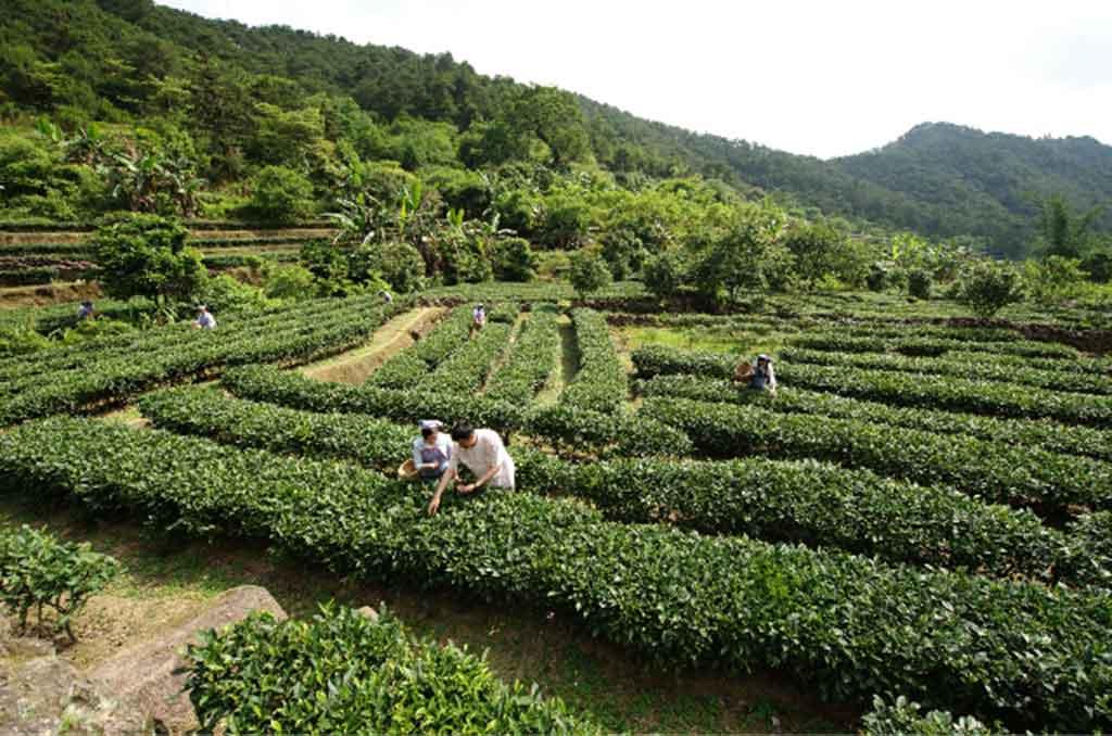 桂平西山茶