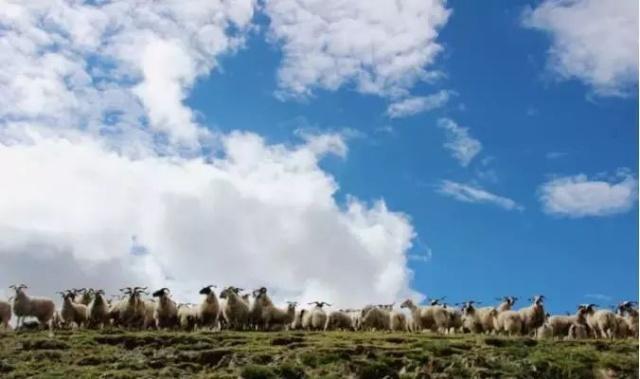 石渠藏系绵羊