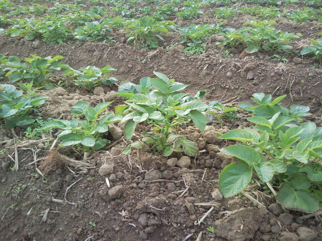 马铃薯秧苗期