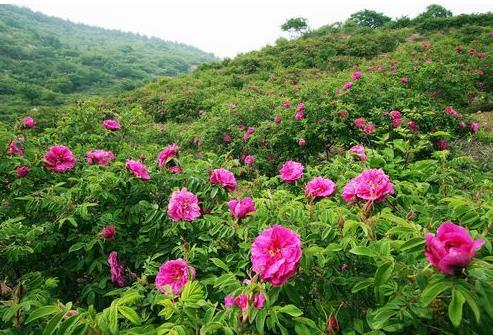 妙峰山玫瑰种植基地