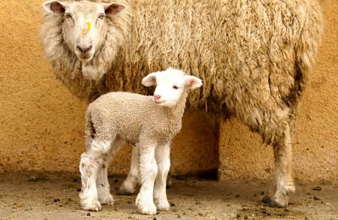 凉山半细毛羊