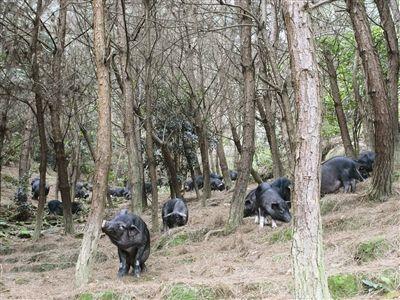东兰黑山猪