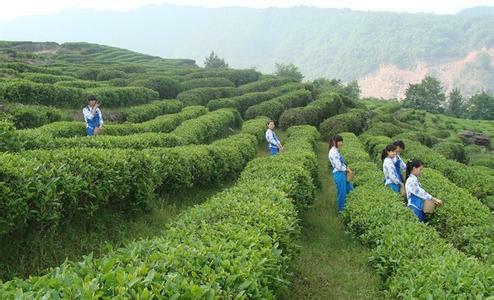 南江大叶茶