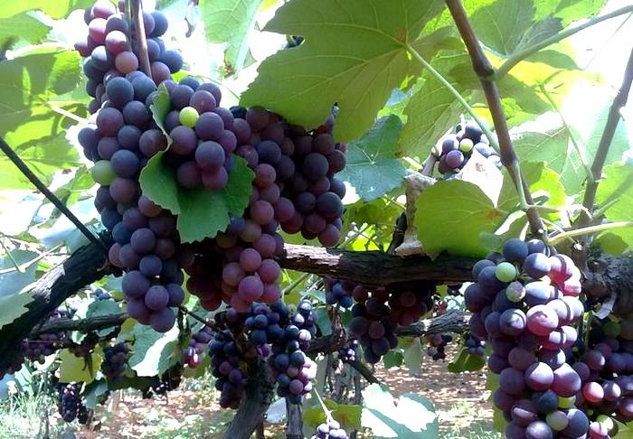 弥勒葡萄玫瑰蜜品种