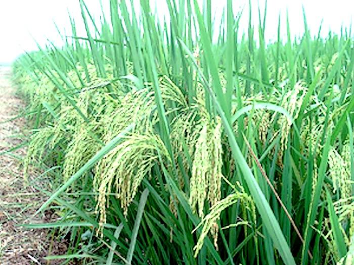 南陵县水稻种植基地
