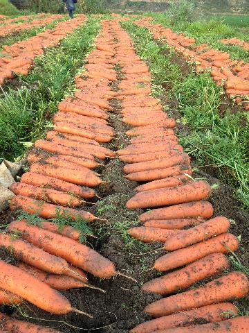 店埠胡萝卜