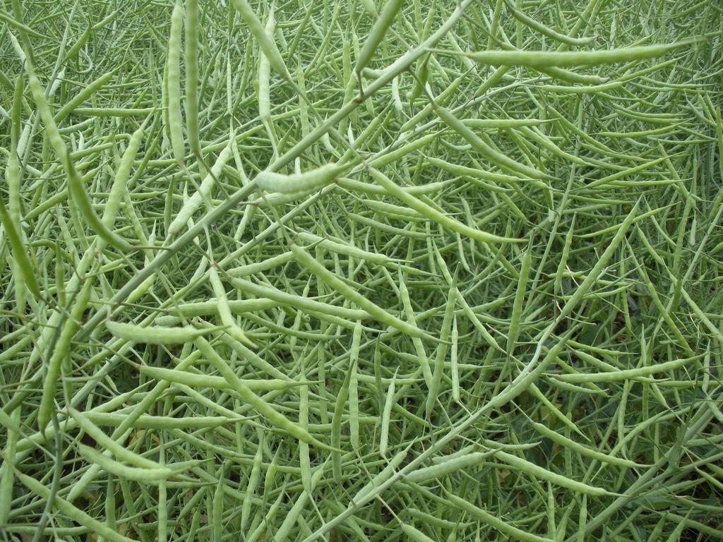 呼伦贝尔油菜籽