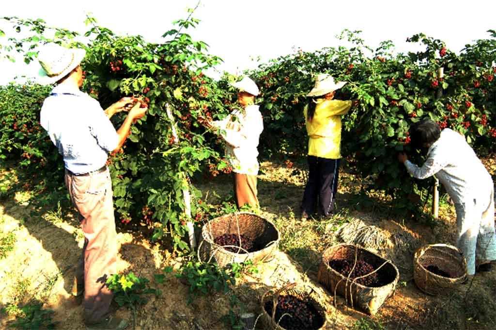 农民在采摘白马黑莓