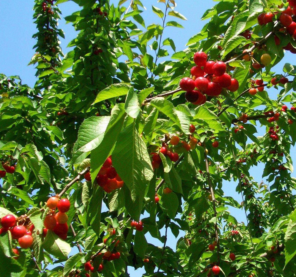 越西甜樱桃