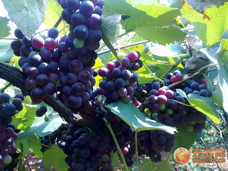 弥勒的葡萄