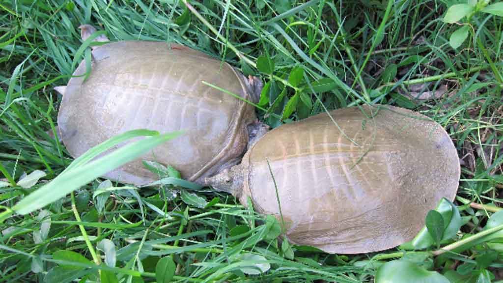 桂平黄沙鳖