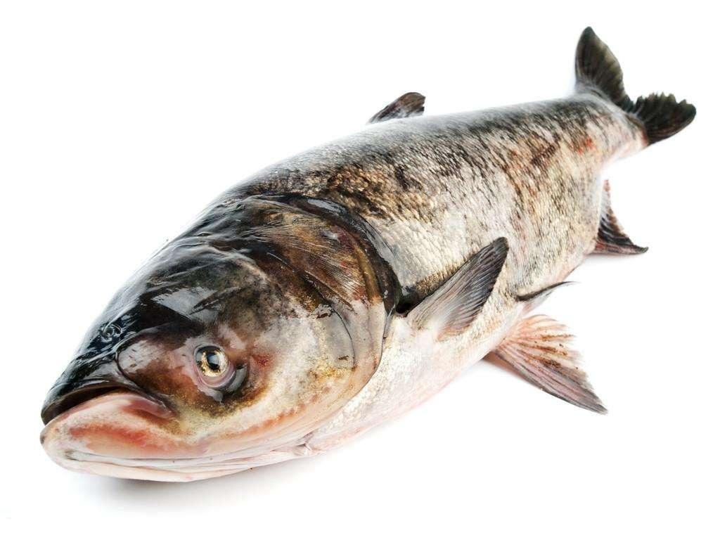 产芝水库鳙鱼