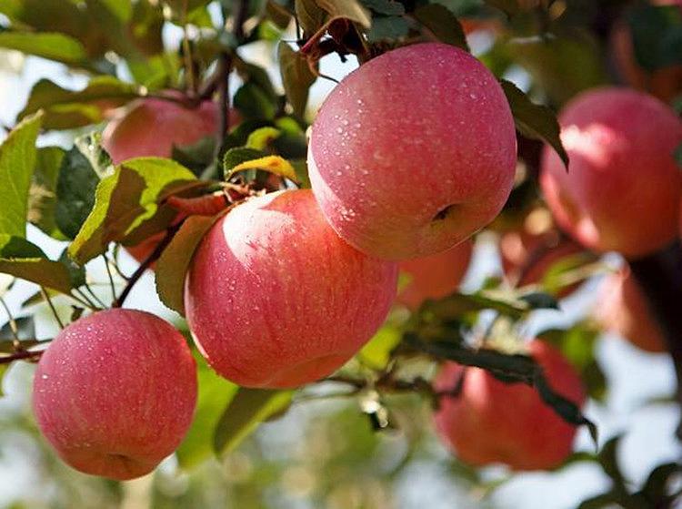 瓦房店红富士苹果