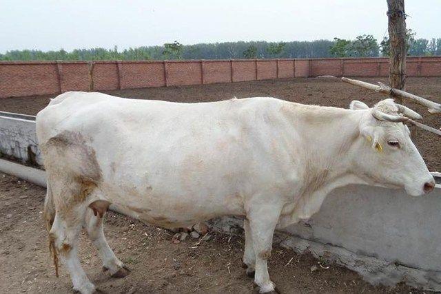 辽宁辽育白牛