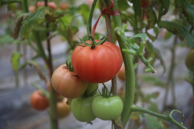 胶北西红柿