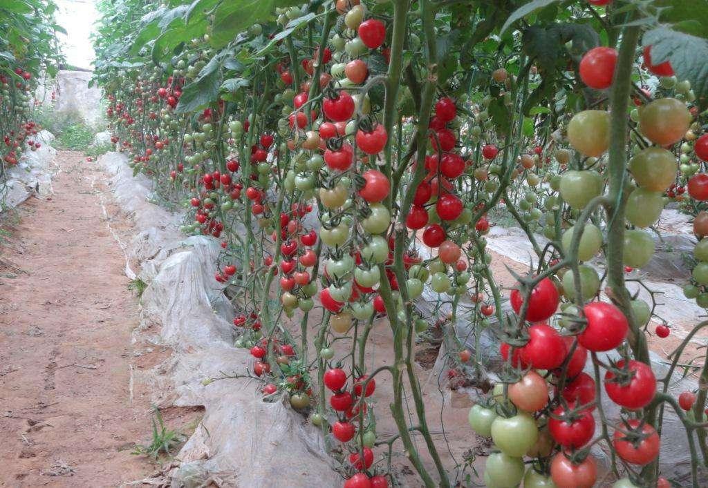 大黄埠樱桃西红柿