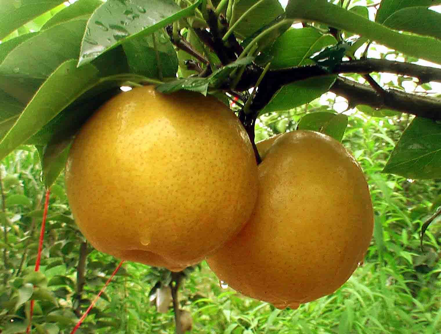 天宝山黄梨