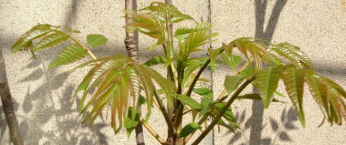 瓦屋香椿芽