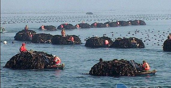 长岛万亩海带养殖丰收场景