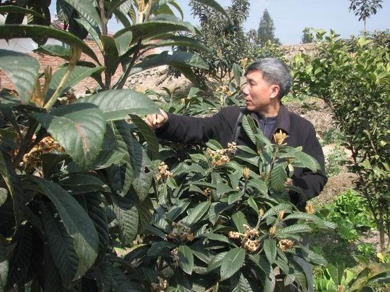 石棉县野生枇杷资源调查与保护利用
