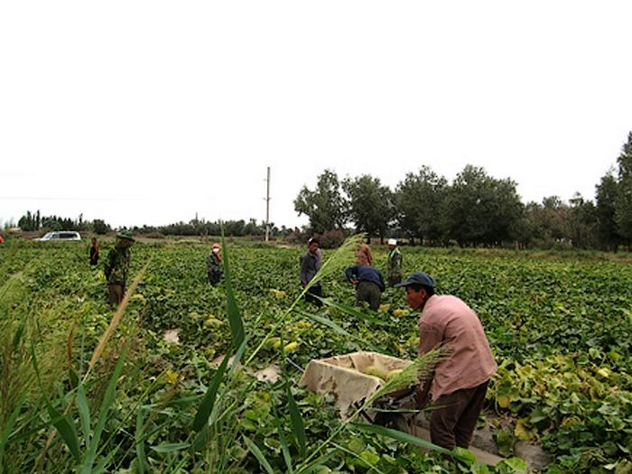 瓜州蜜瓜种植基地