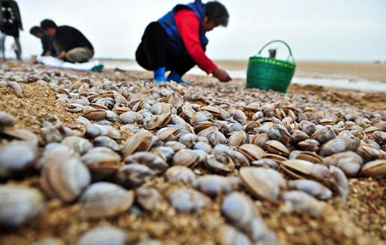 老河口滩涂上的白蛤