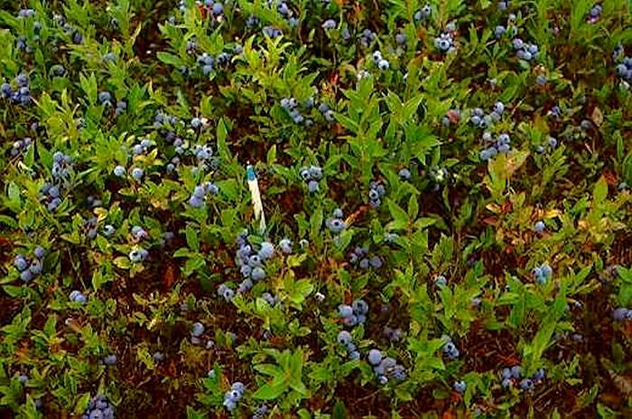 伊春主栽蓝莓品种—美登