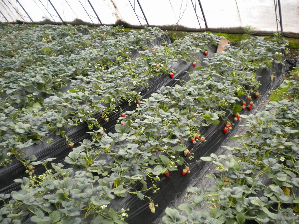 昌平草莓种植基地