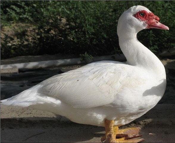 永春白番鸭
