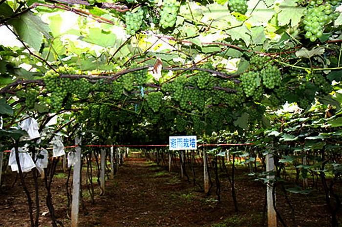 弥勒县避雨栽培技术的葡萄园
