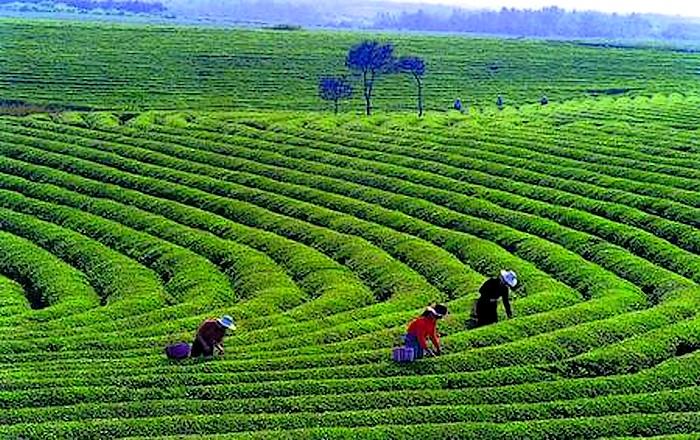 三清山白茶种植基地