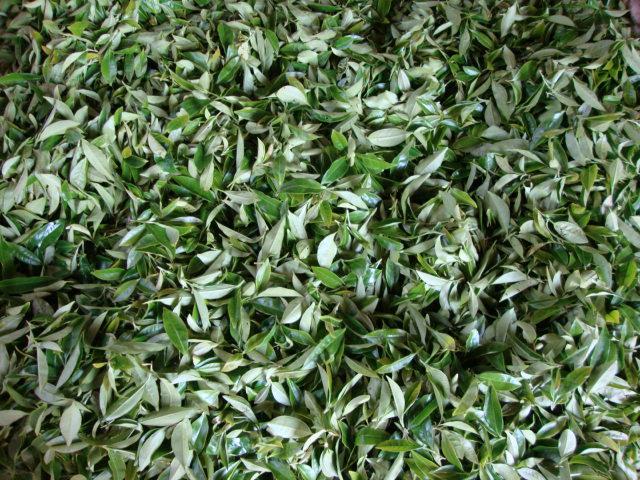 漳平水仙茶(饼)制作工序