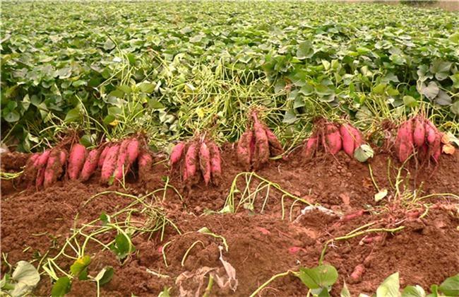 花园口红薯—新鲜出土