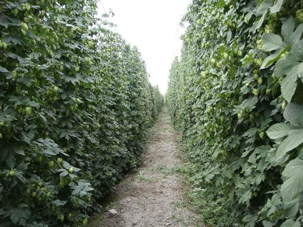 新疆兵团二十七团啤酒花