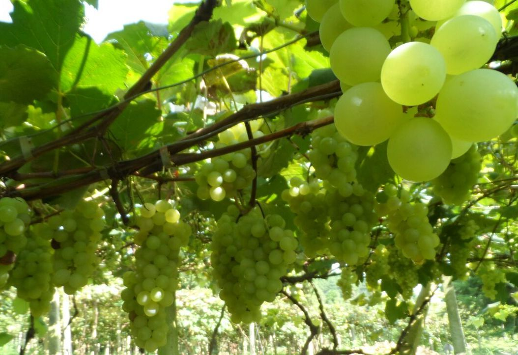 凯里水晶葡萄