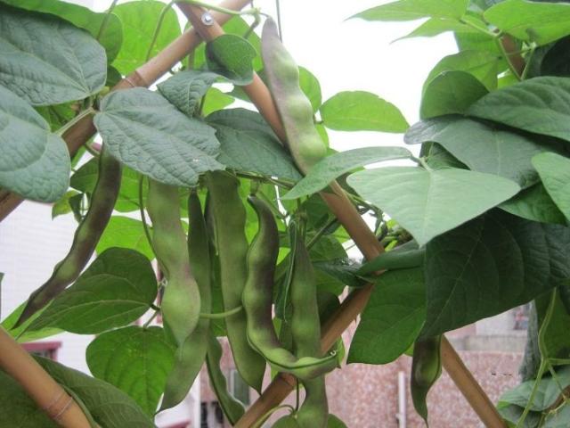梅里斯油豆角