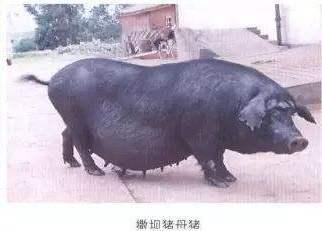 禄劝撒坝猪