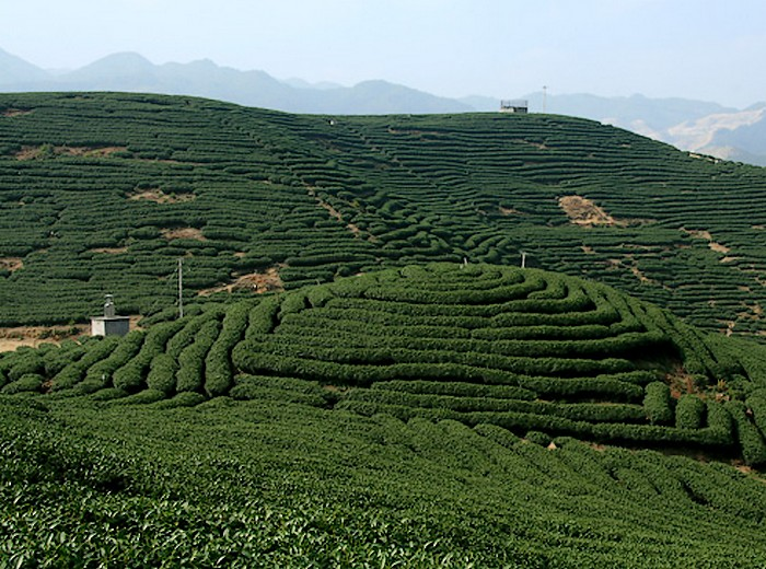 漳平水仙茶种植基地