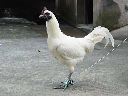 洪江雪峰乌骨鸡