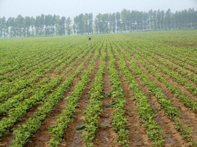 天山大明绿豆种植