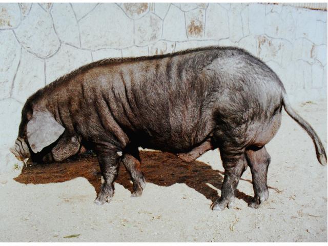 莱州烟台黑猪