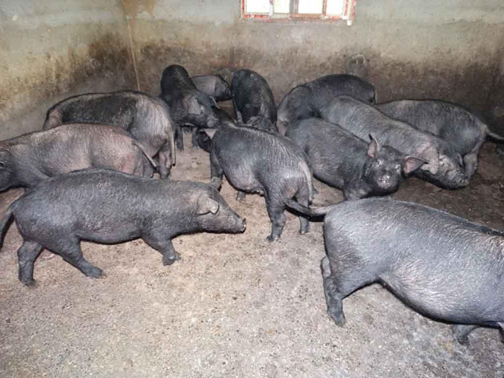雷波芭蕉芋猪