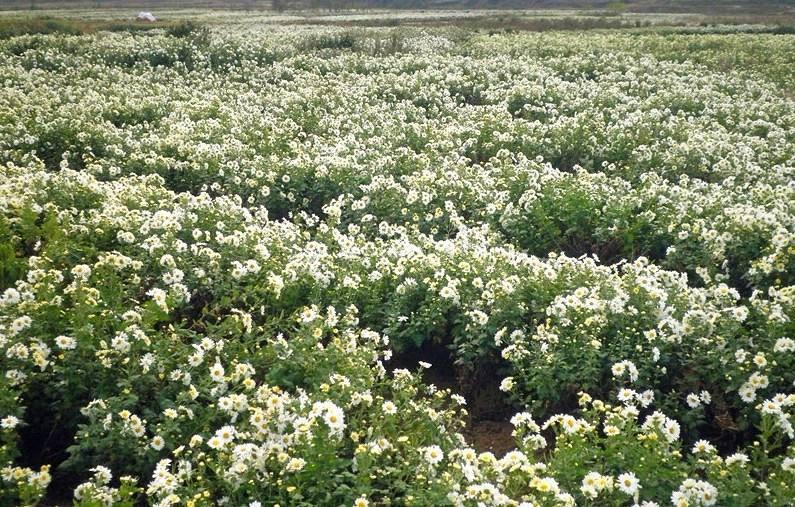 麻城福白菊