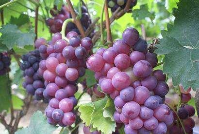 九仙山葡萄
