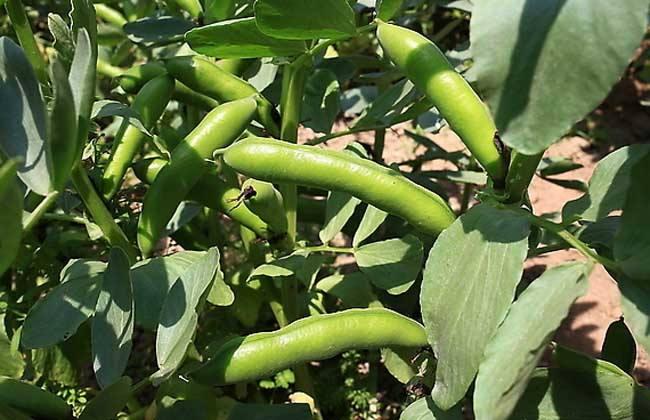 六盘山蚕豆
