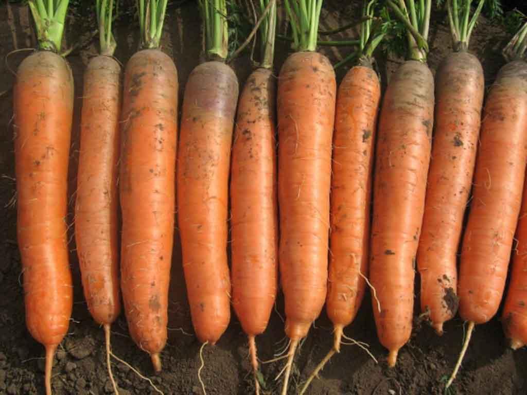新立胡萝卜