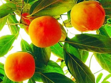 九寨沟柿子