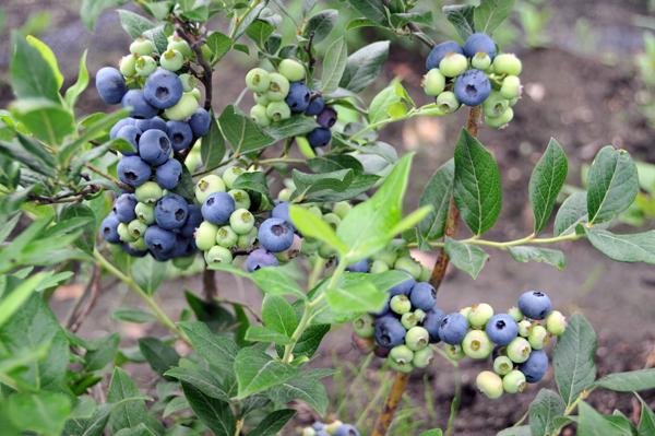 成熟的伊春蓝莓果