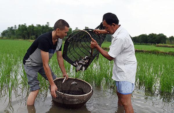 桥渡村民在打捞禾花鱼